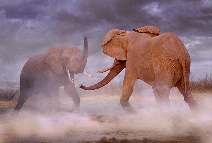 © Steve-Bloom--Elefantes--africanos