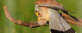 Revista-de-fotografia de aves--400-mm