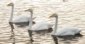 Omnifoto--cisnes-fi