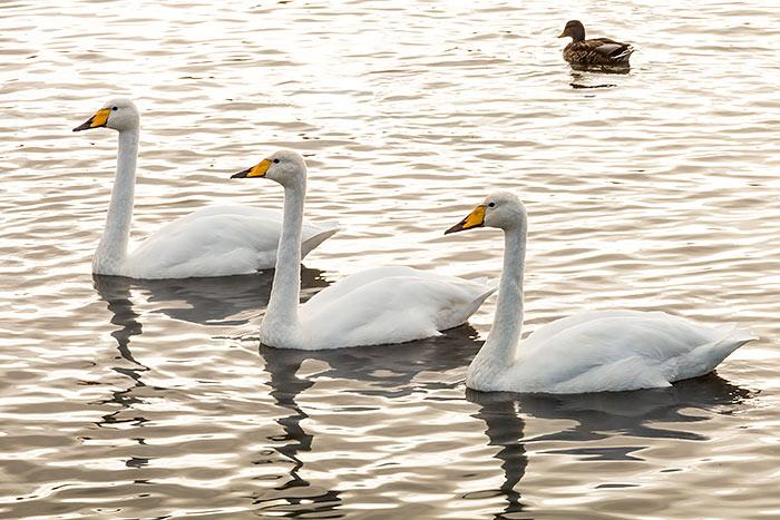 Omnifoto--cisnes