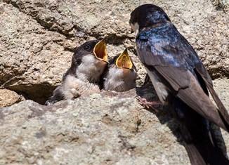 omnifoto-Peru pájaro andino alimentando a los polluelos