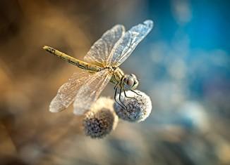 fotografía macro-libelula