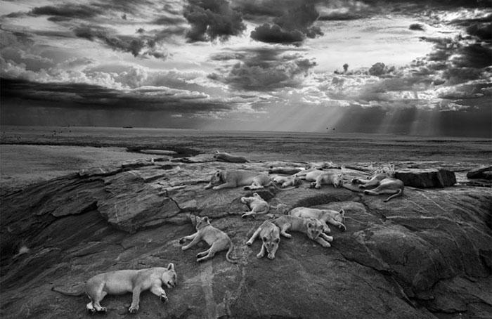 WPY-wild-lionuse-Michael-Nichols