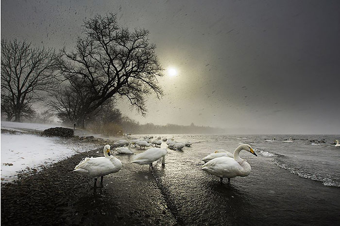 WHOOPER-SWANS-IN-THE-STORM-MARCO-GAIOTTI